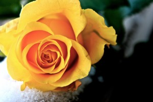 beautiful_yellow_rose_by_marydos1997-d5v46hf